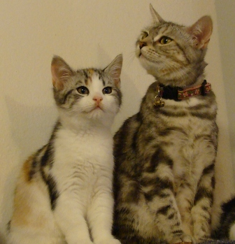 Silver Star with Berry as a kitten